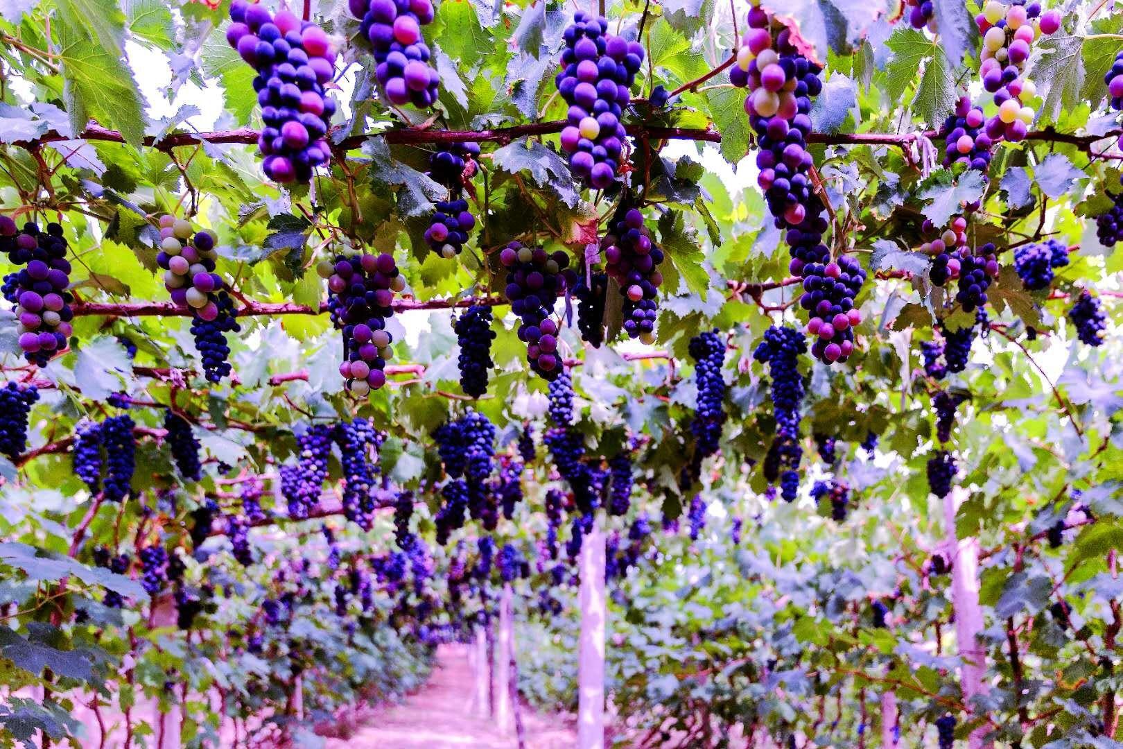 成熟的果实----四川万博manbetx官网网页版高速公路股份有限公司万博manbetx官网网页版分公司